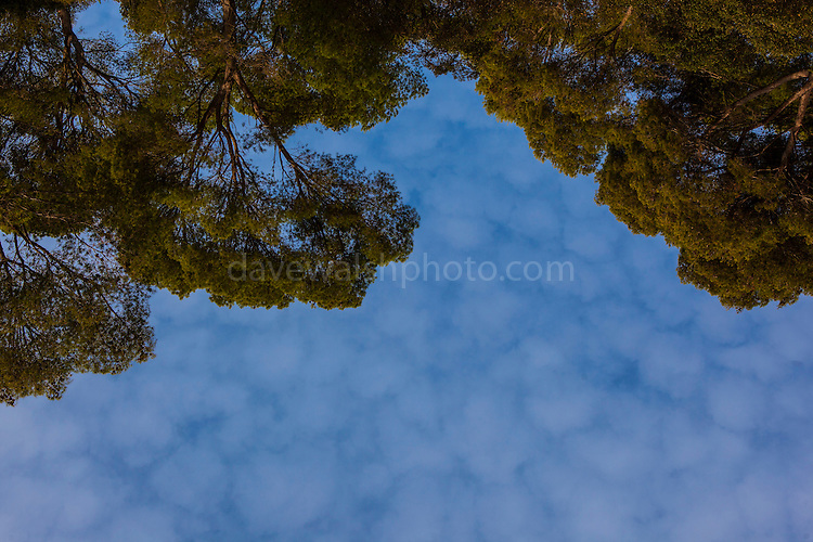 Sky and Pine Trees, Tamariu, Catalonia, Spain