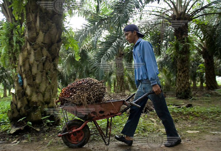A worker harvests palm oil bushels in a small plantation.