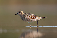 American Golden-Plover (Pluvialis dominica), East Pond, Jamaica Bay Wildlife Refuge