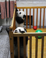 Ya Li and Wen Li at the Chengdu Giant Panda Breeding and Research Base in Chengdu, China. Dec 2009.  The twins were born to their mother, Li Li, who is 19 years old, and her first babies. .