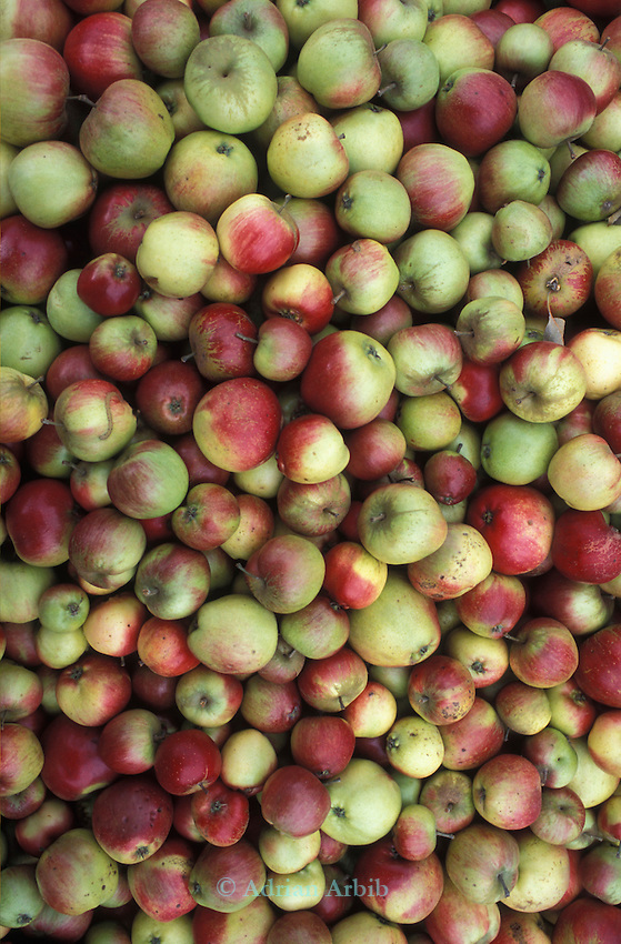 Freshly picked apples piled high at Charlton Orchards in Somerset. Charlton are  one of the last independent apples orchards left in the UK. . They're growing about 25 varieties of English apple: one of the last diverse commercial orchards left in Britain.