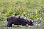 Africa, Kenya, Amboseli. Hippo of Amboseli.