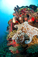 A Common octopus (Octopus vulgaris)<br /> on the reef at North Star <br /> St. Croix <br /> U.S. Virgin Islands