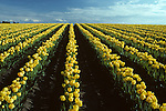 Rows of yellow tulips in a field Skagit County near Mount Vernon Washington State USA