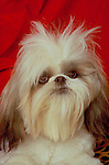 shih-tzu Shopping cart has 3 Tabs:<br /> <br /> 1) Rights-Managed downloads for Commercial Use<br /> <br /> 2) Print sizes from wallet to 20x30<br /> <br /> 3) Merchandise items like T-shirts and refrigerator magnets