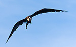 Frigatebirds nest on Manuk Island in the Banda Achipelago and are commonly seen swirling over the Banda Neira harbor.