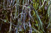 Arktische Smaragdlibelle, Weibchen, Somatochlora arctica, northern emerald, female, La Cordulie arctique, Chlorocordulie arctique, Corduliidae, Falkenlibellen