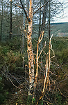 Trees stripped of their bark by  deer.<br /> <br /> Caledonian pines, Glenfeshie, Scotland. <br /> An old growth forest in the foothills of  the Cairngorms. <br /> This Caldedoniam pine forest used to cover much of Scotland  but has been  destroyed by deer over grazing and clearances.