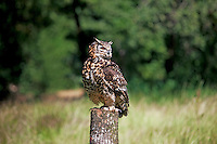 Cape Eagle Owl (Bubo capensis) adult perched on a post.