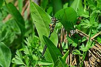 340750002 a wild male mountain emerald somatochlora semicircularis perches on a plant at dismal swamp in modoc county california