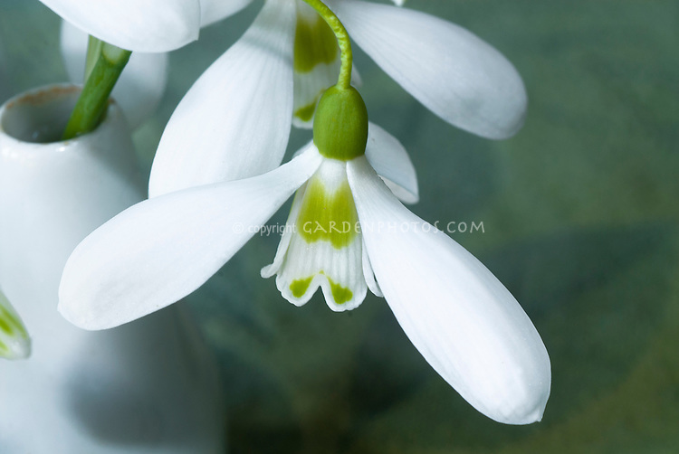 Galanthus 'Ransom' dwarf growing snowdrops bulbs flowers iin vase picked, elwesii