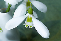 Galanthus 'Ransom' dwarf growing snowdrops bulbs flowers iin vase picked, elwesii