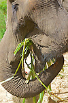 Elephant Eating