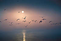 Flocks of gulls soar across fog shrouded Hoover Reservoir as the sun begins to rise on a Saturday morning.