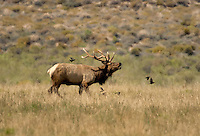 628850123 a wild bull tule elk cervus nannodes bugles in an open field off highwy 395 near big pine california species is endnageered  - ref dlw1776-77