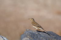 571410008 a wild american pipit anthus rubescens perches on a rock in the salton sea national wildlife refuge in southern california