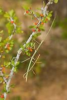 397010009 a wild pair of northern walking sticks diapheromera femoratain mate while perched on a small berry covered plant the rio grande valley texas united states