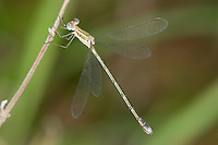 Spreadwing Dragonfly (Lestes plagiatus) female perched, South Africa