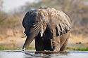Botswana, Okavango Delta, Moremi Game Reserve,  African elephant  (Loxodonta africana) crossing river