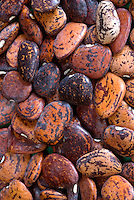 Heirloom Lima Beans 'Jackson Wonder pile, dried seeds