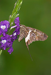 White Striped Longtail Skipper, Chioides catillus, Costa Rica, feeding on purple flower, tropical jungle, .Central America....