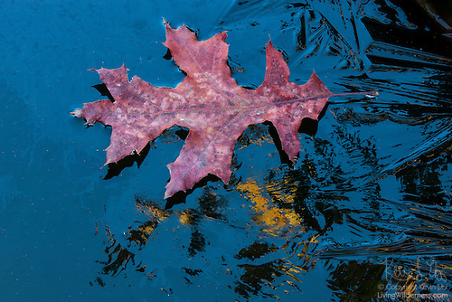 Oak Leaf Floating on Frozen Pond, Snohomish County, Washington
