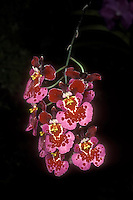 Tolumnia Dawn to Dusk (Equitant Oncidium Orchid Hybrid)