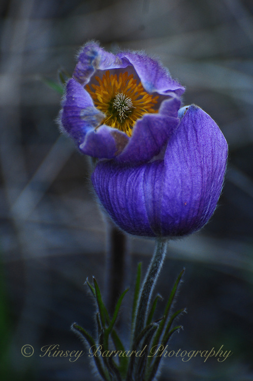 &quot;PASQUE FLOWER&quot;<br /> <br /> The Pasque Flower is another of Montana's treasures. One of my favorite wildflowers this pasque was particularly elegant.