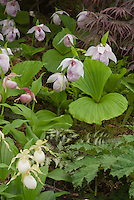 Cypripedium formosanum, Cypripedium Michael, Cyp ventricosum 'Album'