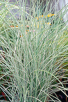 Miscanthus sinensis 'Morning Light' ornamental grass Maiden grass