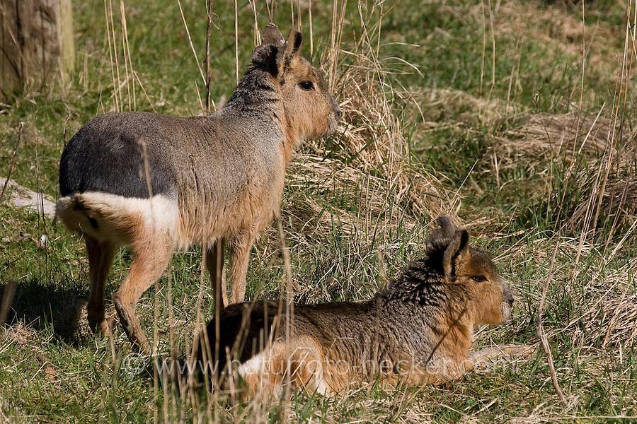 Pampashase, Pampas-Hase, Große Mara, Grosses Mara, Dolichotis patagonum, cavy, Patagonian cavy, Patagonian hare