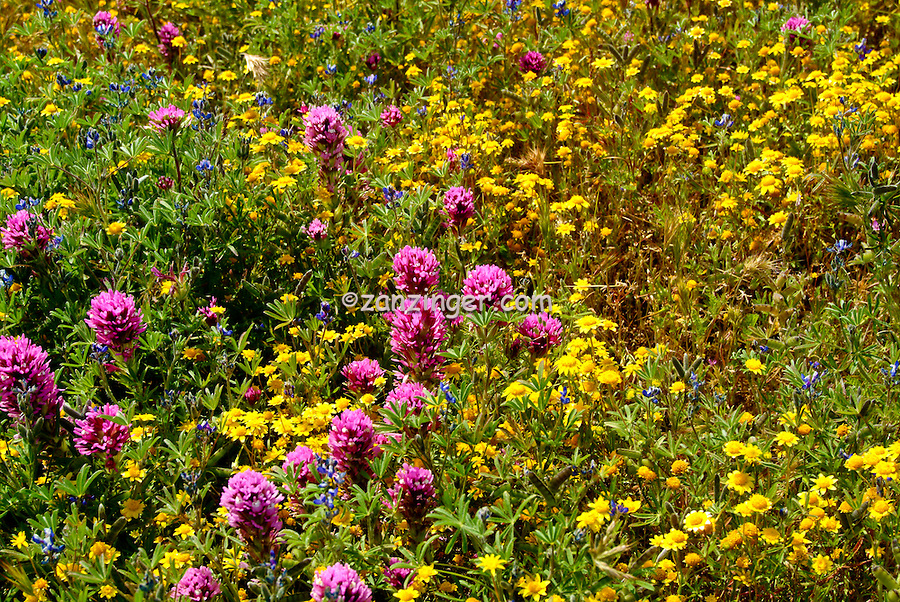 spring wildflowers in antelope - photo #26