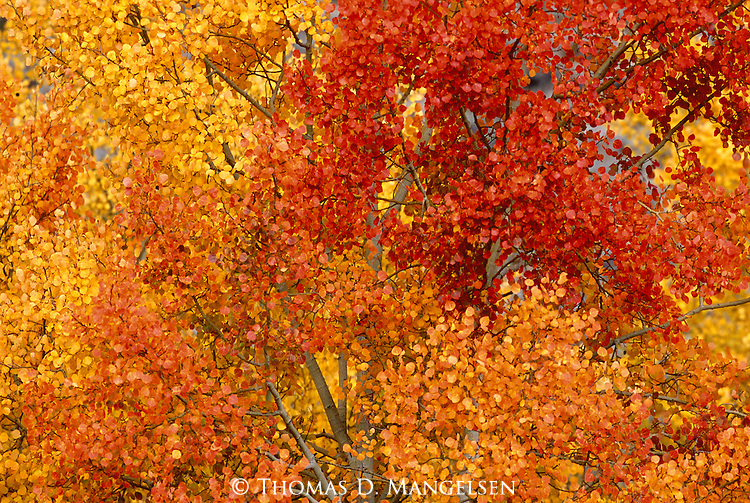 A kaleidoscope of burnished golden-orange leaves turn red at the peak of fall colors in Grand Teton National Park, Wyoming.