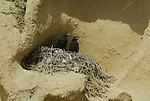 Ravens in nest