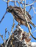 Nevada Birds