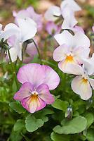 Viola Gem 'Pink Antique' in pink spring bloom, violets