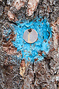 The number 8, stamped on a metal disk, nailed to a ponderosa pine tree trunk with a blue blaze painted in the bark; Cottage Grove Lake, Oregon.