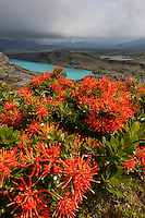 Blooming firebush and the Paine river, Patagonia, Chile