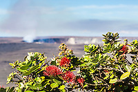 Red 'ohi'a lehua flowers bloom, with Halema'uma'u Crater in the background, Volcano, Island of Hawai'i.