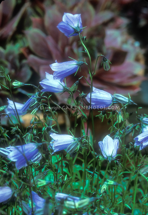 Blue flowers of bellflower Campanula cochlearifolia 'Bavaria Blue'