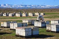 Hives line up as far as the eye can see in front of the bare orchards.