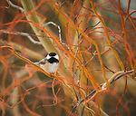 Black Capped chickadee sitting in willow tree
