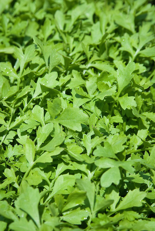 Greek cress, early July. Small, flat, parsley-like leaves with the distinctive peppery taste of cress.