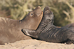 Female and pup elephant seals