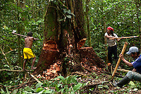 A group of Waorani (Huaroni) men working with hand axes, cutting down a huge tree called a Chuncho as they clear ground for a runway. The men of Kahui Omaca (red bandana), Minihua Huani (yellow shorts), Moipa Quemperi (blue shirt and cap)