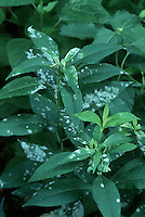 Powdery Mildew on Phlox paniculata plant leaves