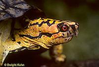 1R07-015z  Eastern Box Turtle - close-up of head - Terrapene carolina