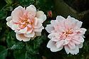 Rosa 'Albertine', mid June.