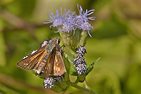 389480001 a wild sachem skipper butterfly atalopedes campestris at  the naba site in mission hidalgo county lower rio grande valley texas united states