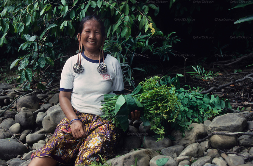 DAYAK, MALAYSIA. Sarawak, Borneo, South East Asia.  Dayak , 'Kelabit', woman collecting edible ferns from the forest. Tropical rainforest and one of the world's richest, oldest eco-systems, flora and fauna, under threat from development, logging and deforestation. Home to indigenous Dayak native tribal peoples, farming by slash and burn cultivation, fishing and hunting wild boar. Home to the Penan, traditional nomadic hunter-gatherers, of whom only one thousand survive, eating roots, and hunting wild animals with blowpipes. Animists, Christians, they still practice traditional medicine from herbs and plants. Native people have mounted protests and blockades against logging concessions, many have been arrested and imprisoned.
